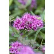 Spirea japonica Anthony Waterer - Pack of THREE Plants