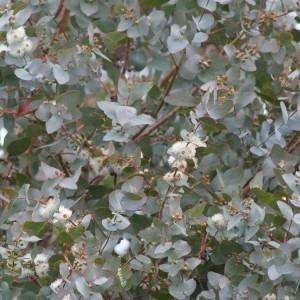 Eucalyptus gunnii Azura - Fragant Blue Anti-Mosquito Eucaluptus
