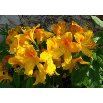 Azalea mollis Luteum - Rare Golden Egg Yolk Yellow Deciduous Azalea