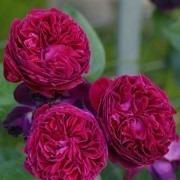 Rose Falstaff ® - David Austin ® Shrub Rose