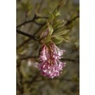 Viburnum Bodnantense Dawn - Pack of THREE Plants