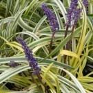 Liriope muscari variegata - Variegated Lily Turf