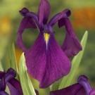 Iris Kaempferi - Japanese Iris