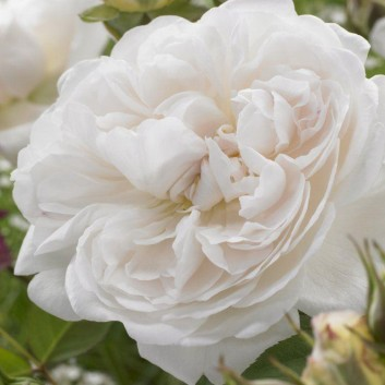 Rose Winchester Cathedral ® - David Austin ® Shrub Rose