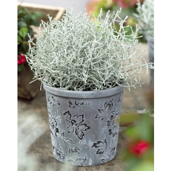 Calocephalus brownii- Silver foliage plants - Perfect for Seasonal Planters - Pack of THREE