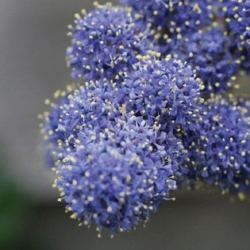 Ceanothus Yankee Point - Californian Lilac - Pack of THREE