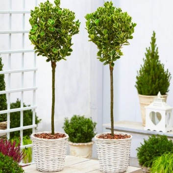 Pair of Euonymus Kathy - Silver Variegated Evergreen Standard Topiary Trees