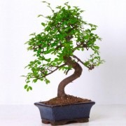 Beautiful 'curved S shape' Bonsai Tree with Glazed Dish and Saucer