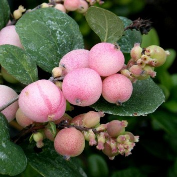 Symphoricarpos doorenbosii 'Mother of Pearl'