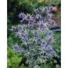 Eryngium bourgatii - Sea Holly