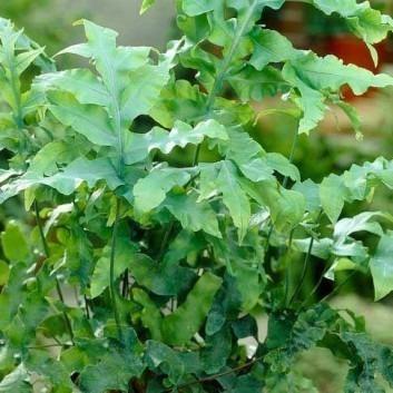 Cyrtomium falcatum - Holly Fern
