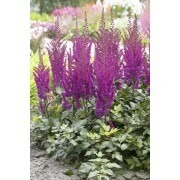 Astilbe Visions in Purple
