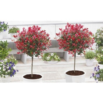 Pair of Evergreen Photinia Little Red Robin Trees