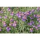 Erysimum linifolium Variegatum - Variegated Perennial Wallflower