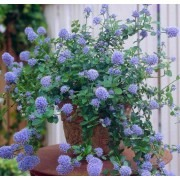 Ceanothus thyrsiflorus repens - Californian Lilac - Pack of THREE Plants