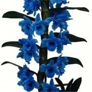 Dendrobium 'Royal Blue' Towering Nobile Orchid Premium Gift with Classic White Display Pot