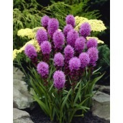 Liatris spicata kobold - Gay Feather