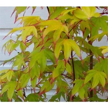 Acer palmatum Tsuma-gaki - Rare Japanese Maple - Large Plant