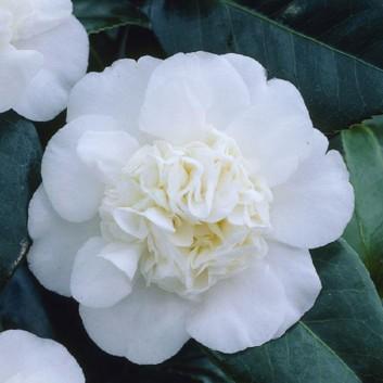 Camellia japonica Nobilissima