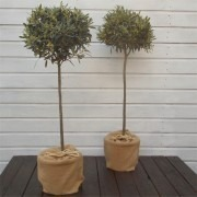 MOTHERS DAY - PAIR of Premium Quality Standard OLIVE Trees in Jute Wrap