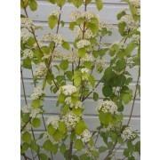 SPECIAL DEAL - Viburnum dilatatum Erie - EXTRA LARGE 120-150cm Specimen Plant