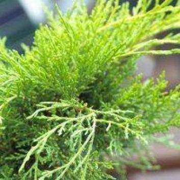 Juniperus x media 'Goldcoast'  - Dwarf Slow Growing Conifer