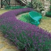 Lavandula angustifolia - English Lavender Pack of 5 Plants
