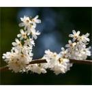 Abeliophyllum distichum - White Forsythia - in Bud and Bursting into Bloom