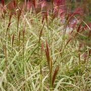 Miscanthus sinensis Variegatus - Japanese Silver Grass