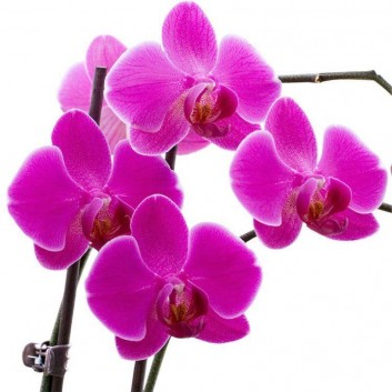 Luxury Phalaenopsis - PINK Moth Orchid in Stylish White display pot