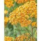 Achillea millefolium Terracotta - Yarrow