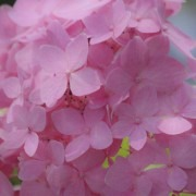 Hydrangea PINK Mophead - Giant Football Sized Flowers - Large Plant