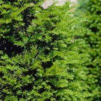Taxus Baccata - English Yew - Large