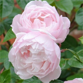 Rose The Generous Gardener ® - David Austin ® Shrub Rose