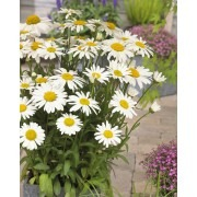 BULK PACK - Leucanthemum x superbum Snow Lady - Pack of TEN Giant White Shasta Daisy Plants