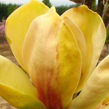 Magnolia Sunsation - New, Rare Tulip Tree with Golden Blushed Flowers