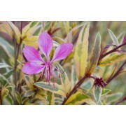 Gaura Pink Panache - Hardy variegated Pink Whirling Butterflies Plant - NEW & EXCLUSIVE
