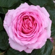 Rose Mum in a Million - Hybrid Tea Rose