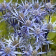 Eryngium alpinum Amethyst - Sea Holly