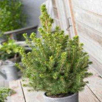 Picea glauca Conica - Dwarf alberta Spruce