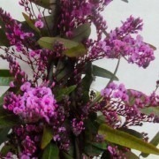 "Hardenbergia violacea Rosea ""Candy Wrapper"" - Evergreen Pink Coral Pea"