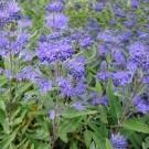 Caryopteris × clandonensis 'Heavenly Blue' - Pack of THREE Plants
