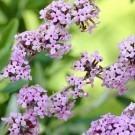 Buddleja alternifolia - Buddleia Butterfly Bush
