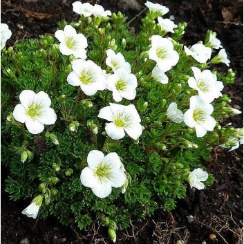 Saxifraga Mossy WHITE - Pack of THREE cushion Saxifrage Plants