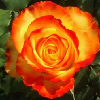 Rose Tequila Sunrise