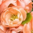 Chaenomeles speciosa Geisha Girl - Flowering Quince