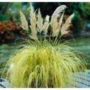 Cortaderia selloana Splendid Star - Dwarf Golden Pampas Grass