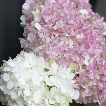 Hydrangea Vanilla Fraise - Vanilla Strawberry Hydrangea
