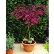 Large 100cm Standard Acer Japanese Maple Trees - Garnet