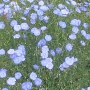 Linum perenne - Flax
